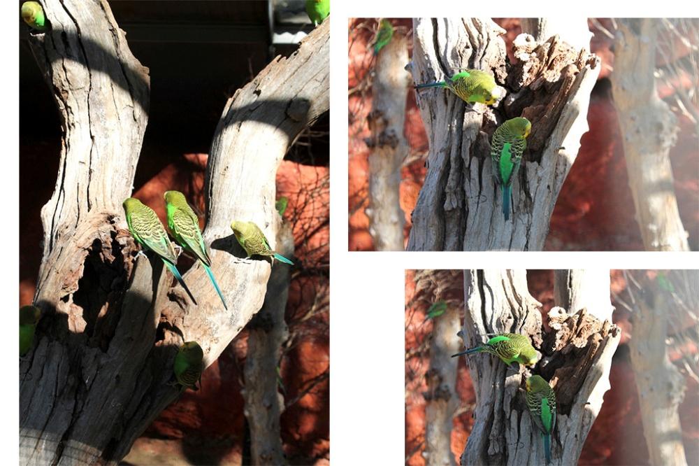 australian-parrots-budgerigar-collage