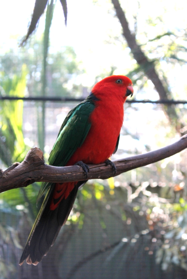 beautiful-green-red-parrot