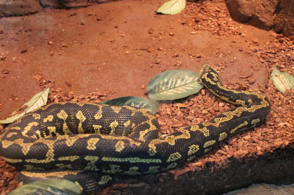black-yellow-snake