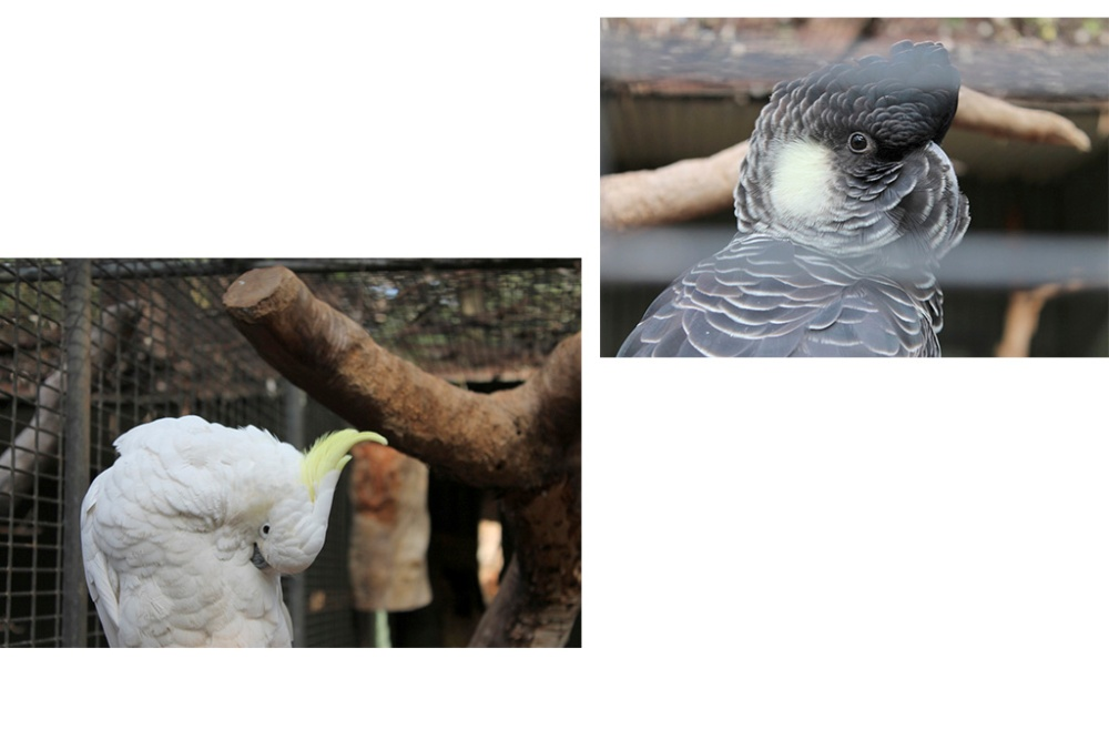 cockatoos-collage