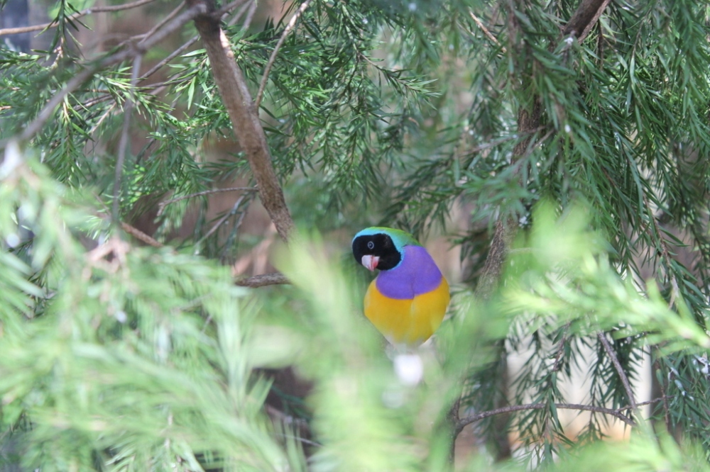 colorfull-bird-featherdale-park