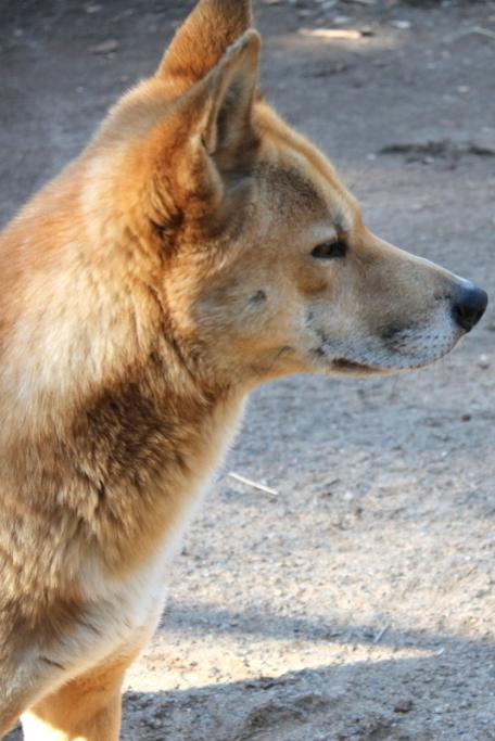 dingo-face-lovely