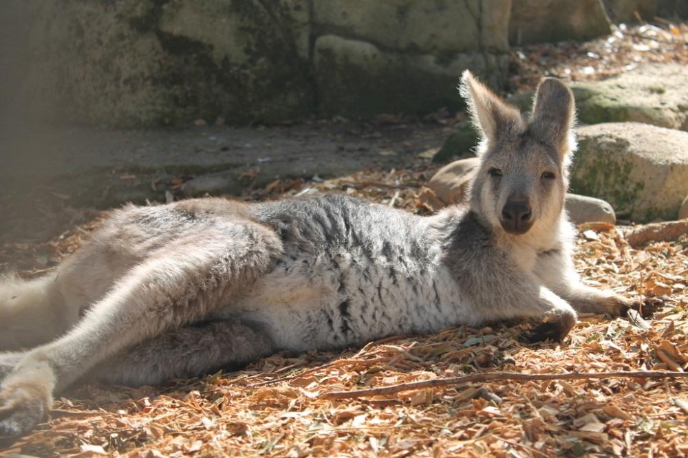 kangaroo-lay-down-sleepy