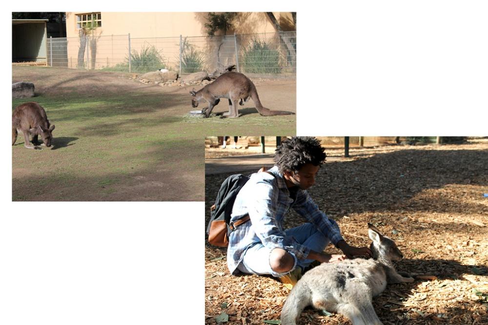 kangaroos-collage