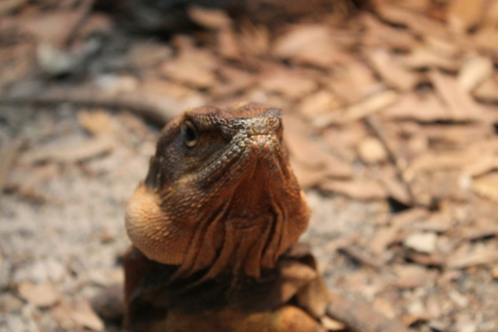 lizard-face-angry-love