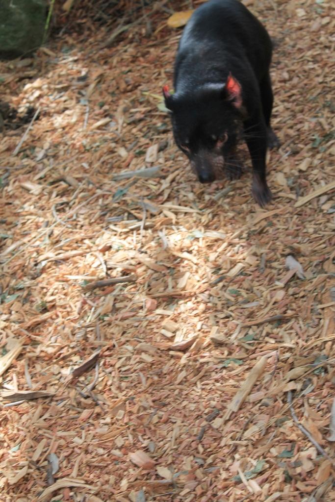 tasmanian-devil-running