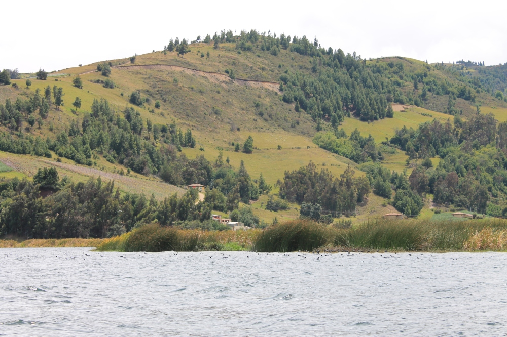 ducks-nature-tota-colombia-lake-laguna-life